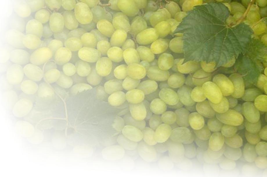 De belangrijkste druivenrassen