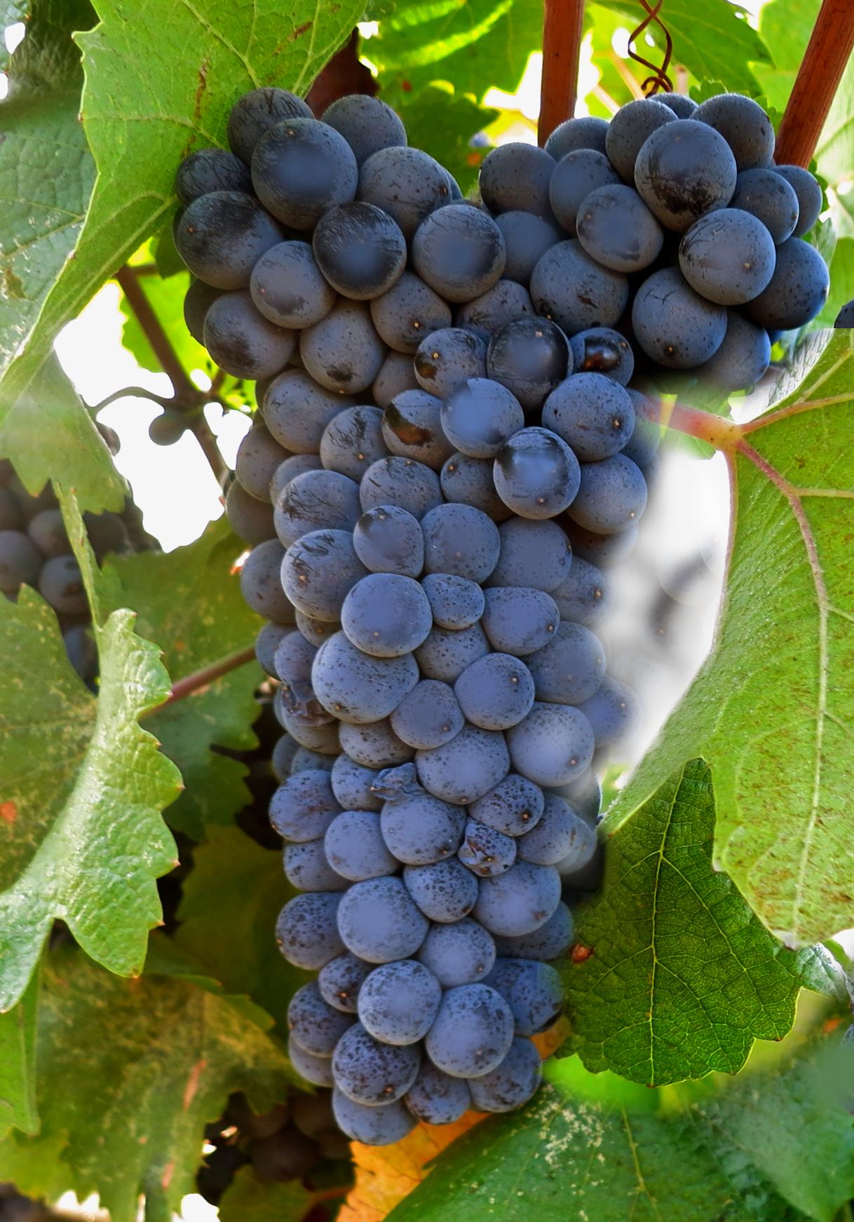 St. Laurent, Sankt Laurent of Saint Laurent, een blauw druivenras