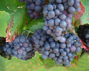 pinot meunier, vijf feiten op een rij van dit druivenras