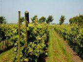 Beemster wijngaard