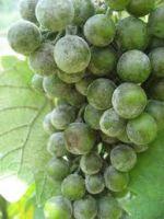 schimmel op druiven