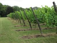 wijngoed de hennepe wijngaard 2