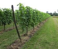 wijngoed de hennepe wijngaard