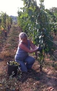 Wijngoed Hegyem in Hongarije, cisca in actie bij de druivenranken