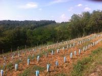 Wijngoed Hegyem in Hongarije, jonge aanplant van druivenranken
