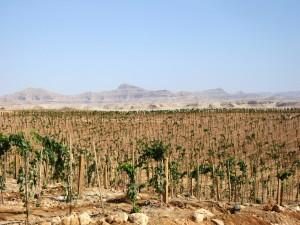 Sahara Vineyards – Egypt 1