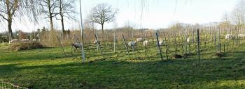 de schapen eten lekker alles leeg in de wijngaard