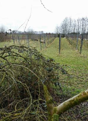 het kappen van bomen in de wijngaard