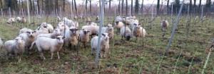 nederlandse wijngaard in de lente 2