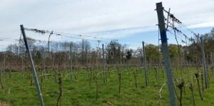 nederlandse wijngaard in de lente 3