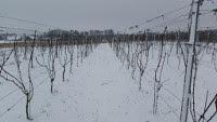 druivenranken op wijngaard reeborgesch