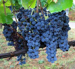 aglianico druivenras in zuid italië