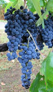 aglianico druivenras