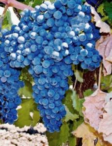 mavrud, de donkere druif uit Bulgarije