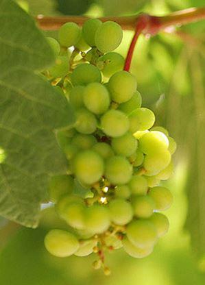De nog jonge chardonnay druiven