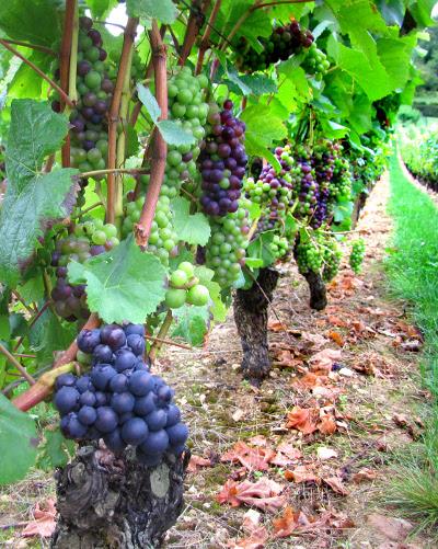 Pinot Noir, de druif met een dunne schil en weinig tannine