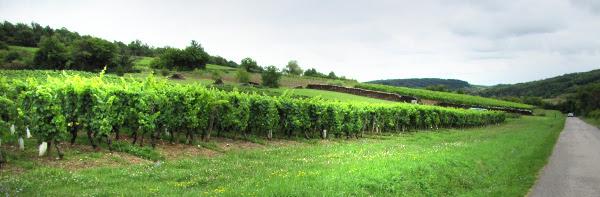 Pinot Noir, de druif van de Côte d'Or, Bourgogne