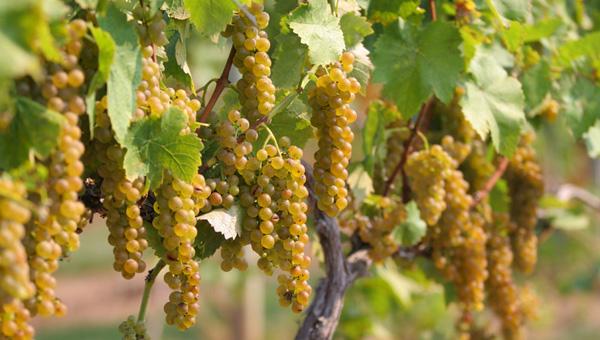Vinho Verde 1