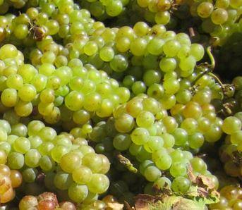 druiven van de chardonnay die wachten op het persen tot druivensap