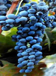 syrah, shiraz, de druif met veel kleur 2