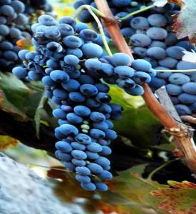 syrah, shiraz, de druif met veel kleur