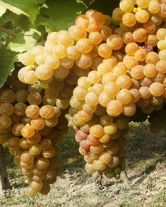 trebbiano, witte druif uit Italië