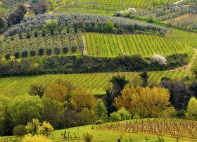 umbrië, wijngaarden