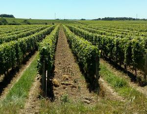wijngaard in de loire vallei