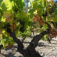 Onbekende druivenranken gevonden in Italië