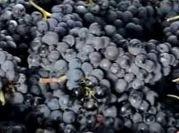 De Sagrantino druif, een inheemse druif