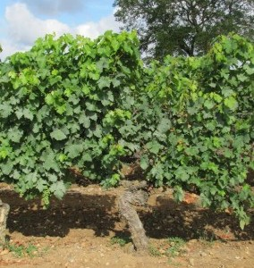 Het wijnjaar in Loire