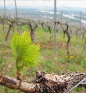 wijnjaar-in-midden-duitsland-2016-riesling