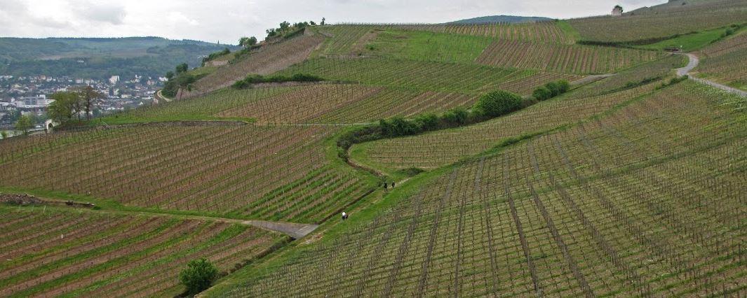 wijnjaar-in-midden-duitsland-2016-wijngaard-langs-de-rijn