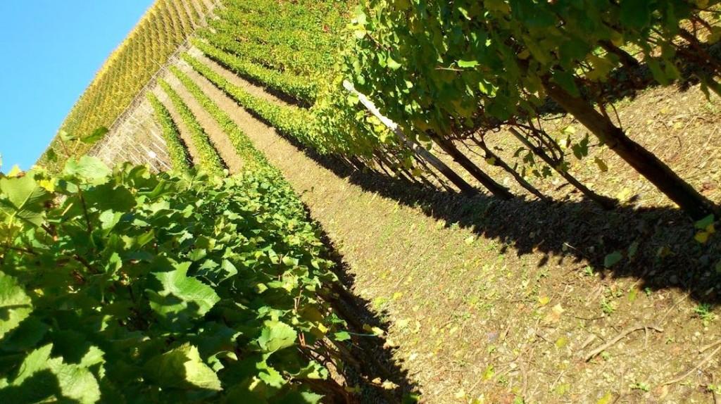 wijnoogst-zuid-duitsland-2016