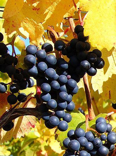 Blaufrankisch, makkelijke druif met veel kleur