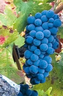 Primitivo, druif met veel kleur ook bekend als Zinfandel