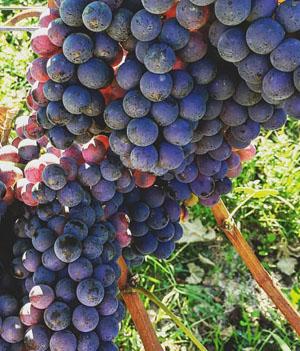 Barbera, de druif uit Piemonte als tros druiven