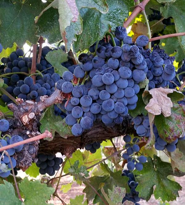 Barbera, de druif uit Piemonte, rijp en klaar om geplukt te worden
