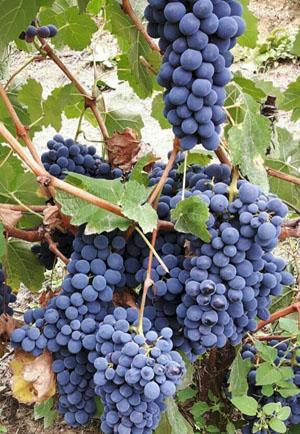 Barbera, de druif uit Piemonte, trossen druiven