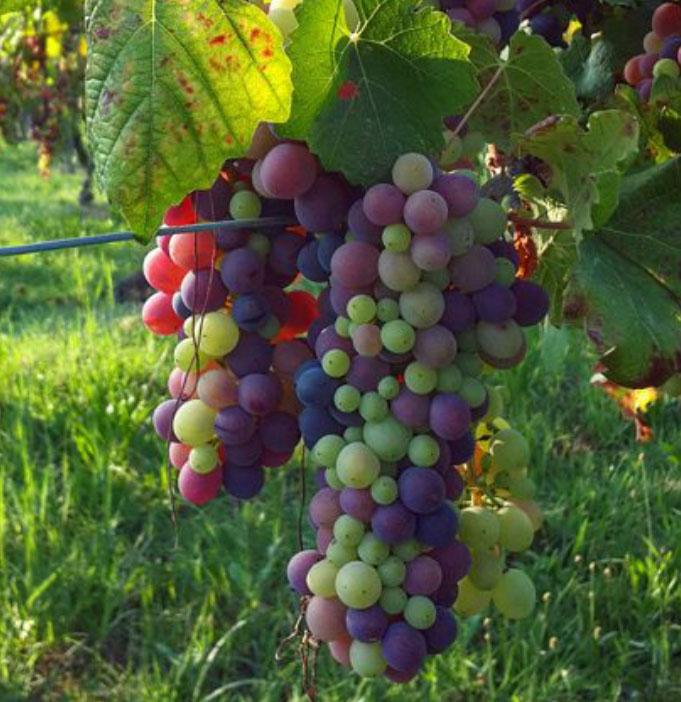 Barbera, de druif uit Piemonte, voor de veraison, de verkleuring van de druiven