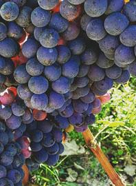 Barbera, de druif uit Piemonte