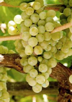 Albarino, frisse witte druif uit Spanje