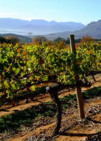 De wijnen van KWV in Zuid-Afrika, de wijngaard