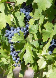 Wine of Origin Cape Town nieuwe herkomstbenaming druiven