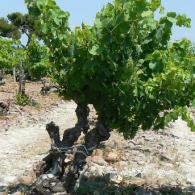 Blauwe en witte druiven in Chateauneuf-du-Pape