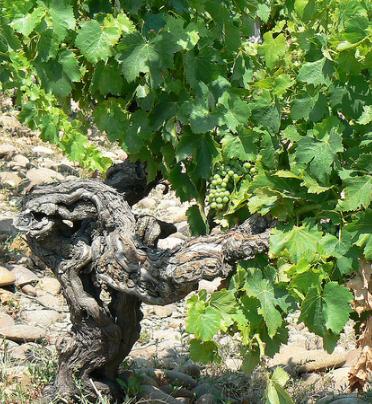 De druiven in Chateauneuf-du-Pape