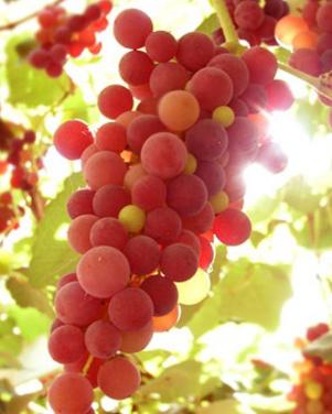 Tekort aan Franse druiven voor wijn