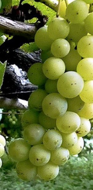 Alvarino, de druif en koning van Vinho Verde is de druif van het noorden van Portugal
