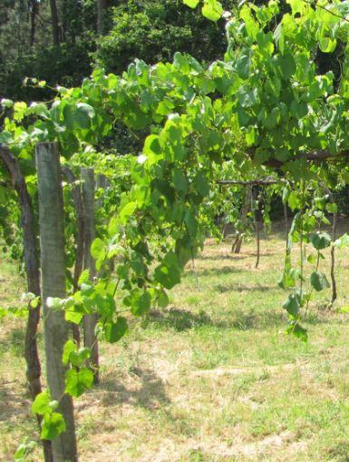 Alvarino, de druif en koning van Vinho Verde met pergolabouw