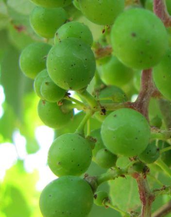 Alvarino, de druif en koning van Vinho Verde